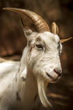 Horned Goat Stock Photos