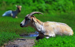 Horned goat. Portrait of a young animal goat standing on green summer pasture stock photo