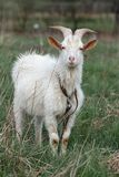 Horned goat Royalty Free Stock Photography