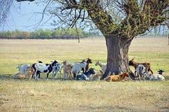 Horned goats Stock Photo
