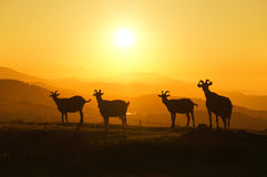 Horned goats at sunset Royalty Free Stock Photo