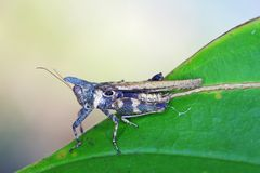 Horned grasshopper on leaf Royalty Free Stock Photos
