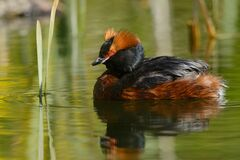 Free Horned Grebe Royalty Free Stock Photography - 184118377