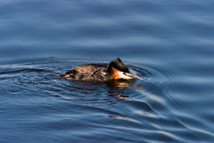 Horned grebe Royalty Free Stock Image