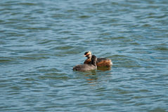 Horned Grebe with a chick Royalty Free Stock Photos
