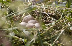 Horned Grebe Eggs Royalty Free Stock Photography