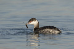 Horned Grebe With Fish stock photography