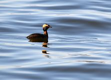Horned Grebe floating on water stock image