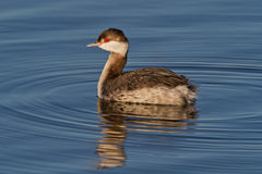 Horned Grebe (Podiceps auritus) Stock Images