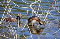 Horned Grebe Podiceps auritus in breeding plumage on the lake in the European part of Russia.  Stock Photography
