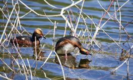 Horned Grebe Podiceps auritus in breeding plumage on the lake in the European part of Russia.  Royalty Free Stock Photo