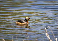 Horned Grebe Podiceps auritus in breeding plumage on the lake in the European part of Russia.  Stock Images
