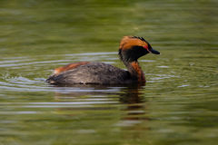 Horned grebe Stock Images