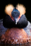 Horned Grebe - Slavonian Grebe Stock Photos