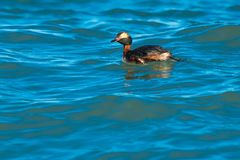 Horned Grebe Stock Photography