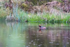Horned Grebe Royalty Free Stock Photography