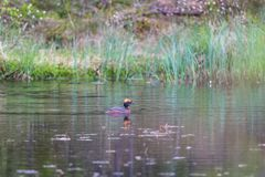 Horned Grebe Royalty Free Stock Photo