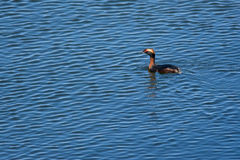 Horned Grebe. Wild Horned Grebe swimming on rippling waves Stock Photography