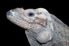 Horned ground iguana Stock Image