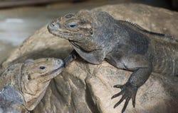 Horned Ground Iguanas Royalty Free Stock Image
