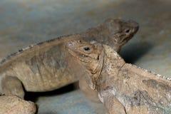 Horned Ground Iguanas Stock Photography