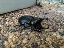 Horned Hercules Beetle stock photography
