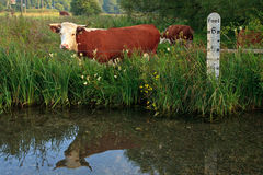 6 foot cow. Horned Hereford cow standing in a field besides a river with a depth marker, it's reflection in the still water stock photography