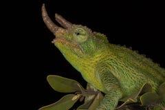 Horned Jackson`s Chameleon, Kenya, Africa stock photos