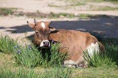 Horned ko som betar bland vildblommor Arkivfoto