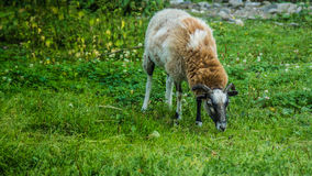 Horned lamb. In the paddock stock image