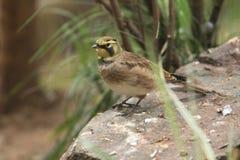 Horned lark. The horned lark on the rock Stock Photography