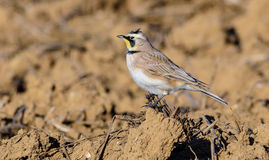 Horned Lark Stock Photography