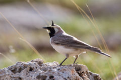 Horned lark. Of the eastern subspecies Eremophila alpestris penicillata stock photography