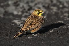 Horned Lark (Eremophila alpestris) Stock Photos