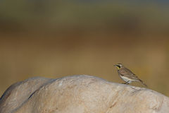 Horned Lark, Eremophila alpestris Royalty Free Stock Images