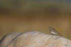 Horned Lark, Eremophila alpestris. Horned Lark on a large rock on Antelope Island in Utah Royalty Free Stock Images