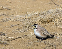 The Horned Lark Eremophila alpestris Stock Images