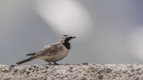 Horned Lark on Rock Facing Right. Horned Lark, Eremophila alpestris, is standing on rock looking right royalty free stock photos