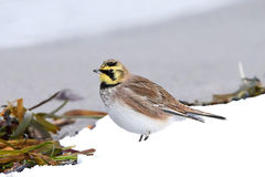 Horned lark (Eremophila alpestris) Royalty Free Stock Photo