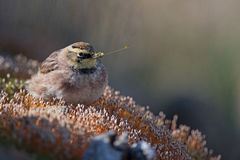 Horned lark. A horned lark feeding on a moss bed in the mountainous region of Charlevoix (Quebec, Canada) during the fall migration of 2016 Royalty Free Stock Images