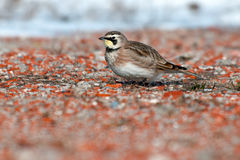 Horned Lark Stock Image