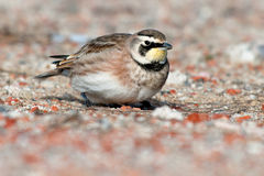 Horned Lark Royalty Free Stock Photos