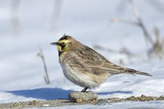 Horned lark on the ground. A horned lark in the snow covered ground in north Idaho stock images