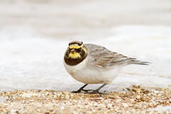 Horned Lark Looking. A Horned Lark (Eremophila alpestris) on a partly snow-covered ground Royalty Free Stock Photo