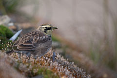 Horned lark. A horned lark on a moss bed in the mountainous region of Charlevoix (Quebec, Canada) during the fall migration of 2016 Royalty Free Stock Image