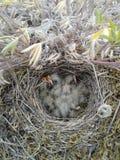 Horned lark nest Stock Image