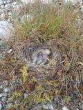 Horned lark nest Stock Photo