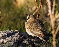 Horned Lark. A horned lark is perched on a buffalo chip Royalty Free Stock Images