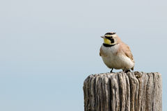 Horned Lark. Perched on post at Pawnee Grassland, Colorado Stock Image