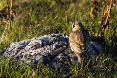 Horned Lark. A horned lark is perched on a rock in Antelope Island State Park, Utah, USA Stock Photography